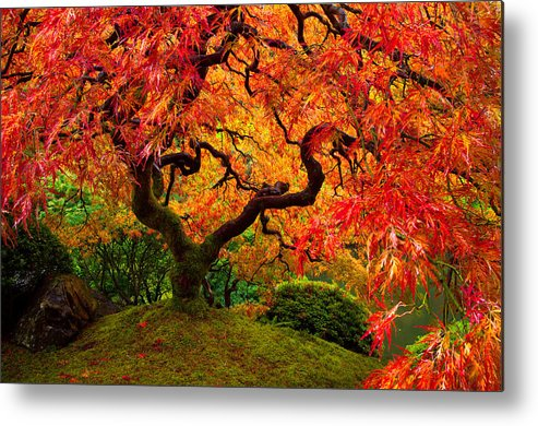 Portland Metal Print featuring the photograph Flaming Maple by Darren White