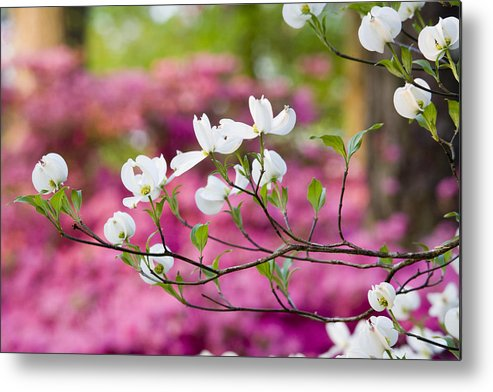 Chatham County Metal Print featuring the photograph Floating Dogwood by Eggers Photography