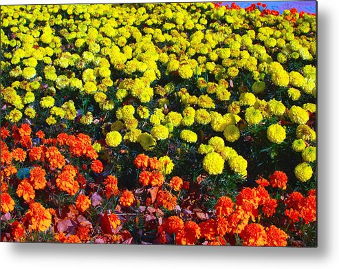Flowerbed Metal Print featuring the photograph Flowerbed Of Narcissuses by Eduard Isakov