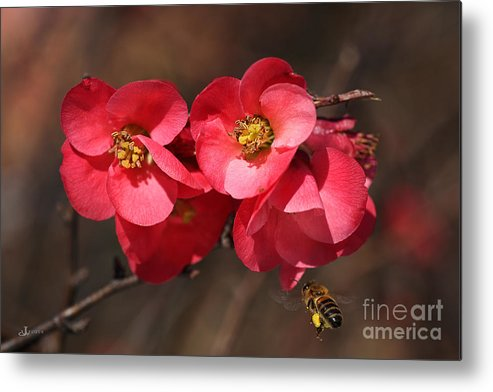 Bubbleblue Metal Print featuring the photograph Flowering Quince With Bee by Joy Watson