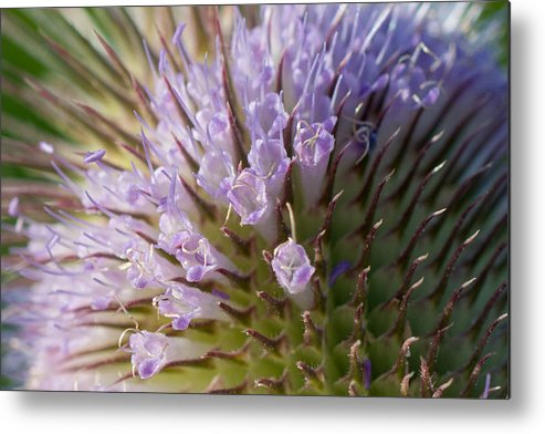 Teasel Metal Print featuring the photograph Flowering Teasel by Laurel Butkins