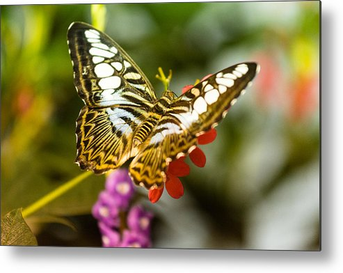 Butterfly Metal Print featuring the photograph Fluttering by Jonah Anderson