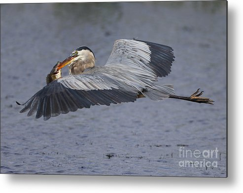 Greatblueheron Metal Print featuring the photograph Flying Fish by Rick Mann
