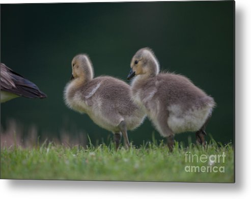 Gosling Metal Print featuring the photograph Follow Daddy by Dale Powell