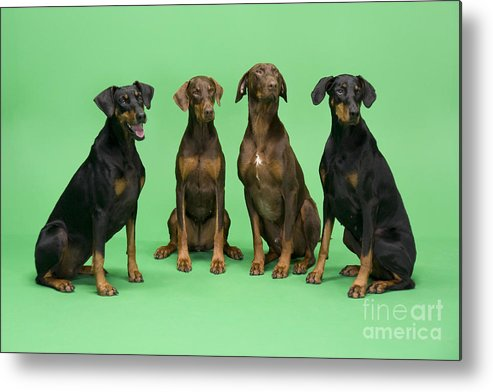 Dogs Metal Print featuring the photograph Four Dobermans Sitting Down by Steve Downer