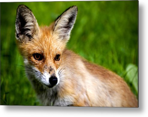 Young Metal Print featuring the photograph Fox Pup by Fabrizio Troiani