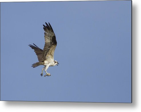 Bird Of Prey Metal Print featuring the photograph Fresh Catch by Charles Warren