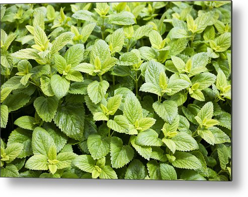 Freshness Metal Print featuring the photograph Fresh Mint by Gillian Dernie