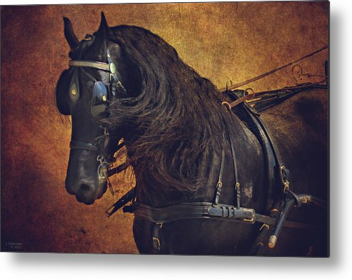 Carriage Horse Metal Print featuring the photograph Friesian Under Harness by Lyndsey Warren