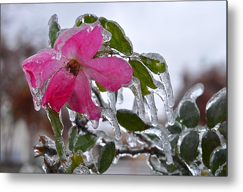 Rose Metal Print featuring the photograph Frozen In Time by Linda Dyer Kennedy
