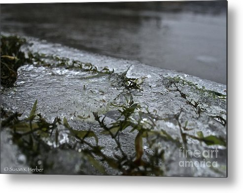 Outdoors Metal Print featuring the photograph Frozen Milfoil by Susan Herber