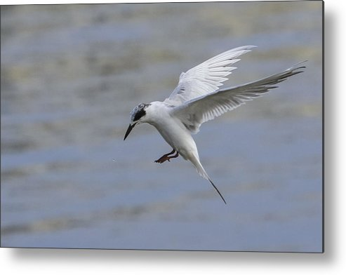 Tern Metal Print featuring the photograph Full Stall by Charles Warren