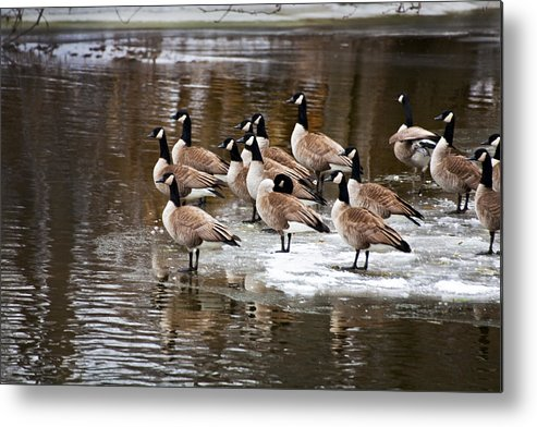 Geese Metal Print featuring the photograph Gaggle by Jeff Klingler