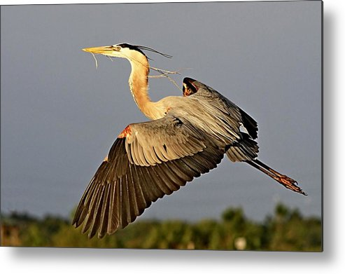 Action Metal Print featuring the photograph Gbh In Flight by Ira Runyan