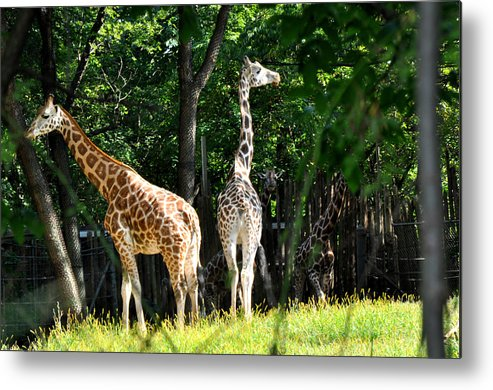Animals Metal Print featuring the photograph Giraffes by Diane Lent