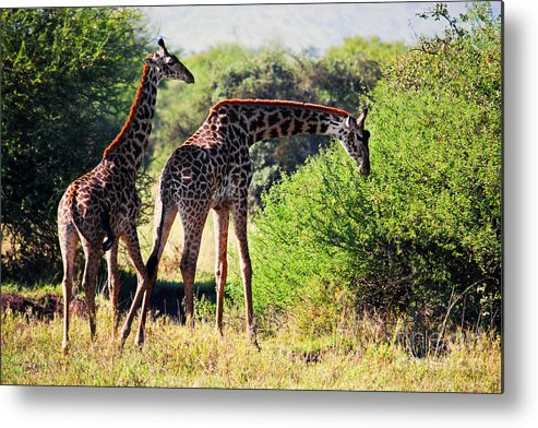 Giraffe Metal Print featuring the photograph Giraffes On Savanna Eating. Safari In Serengeti by Michal Bednarek