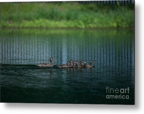 Ducks Metal Print featuring the photograph Gliding Across The Water by Dale Powell
