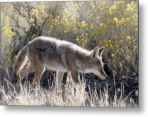 Large Game Metal Print featuring the photograph Glowing Coyote by Eric Nelson