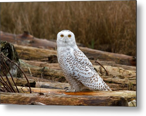 Snowy Owl Metal Print featuring the photograph Golden Eye by Shari Sommerfeld