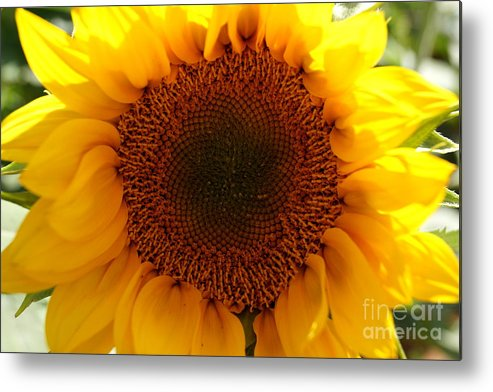 Agriculture Metal Print featuring the photograph Golden Ratio Sunflower by Kerri Mortenson
