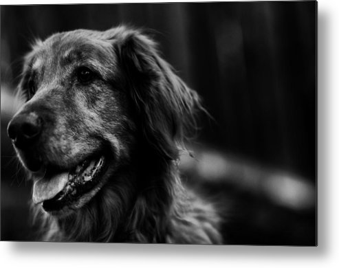 Golden Retriever Metal Print featuring the photograph Golden Smile by Kelly Hayner
