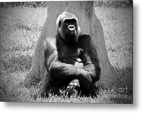 Gorilla Metal Print featuring the photograph Gorilla In Solitude by Jason Rose