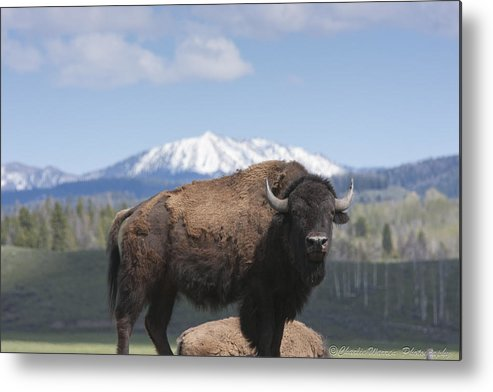 Bison Metal Print featuring the photograph Grand Tetons Bison by Charles Warren