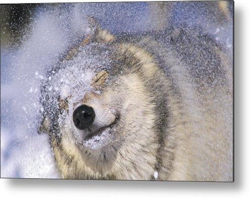 Light Metal Print featuring the photograph Gray Wolf Canis Lupus Shaking Snow Off by Thomas Kitchin & Victoria Hurst
