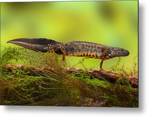 Amphibia Metal Print featuring the photograph Great Crested Newt Or Water Dragon by Dirk Ercken