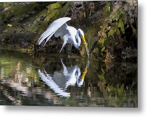Birds Metal Print featuring the photograph Great White Heron Fishing by Charles Warren