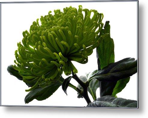 Green Flowers Metal Print featuring the photograph Green Shamrock Chrysanthemum. by Terence Davis