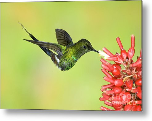 Animal Metal Print featuring the photograph Green Thorntail Hummingbird by Anthony Mercieca