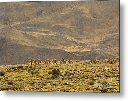 Guanaco Metal Print featuring the photograph Guanaco Herd, Argentina by John Shaw