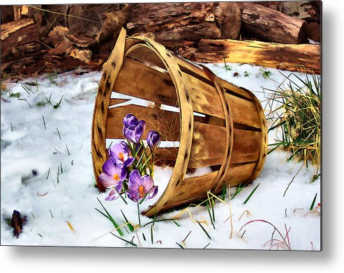 Crocus Metal Print featuring the photograph Half Full by Nadine Lewis