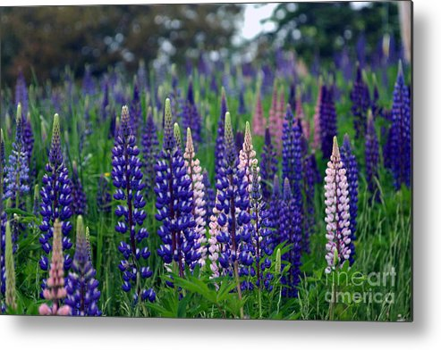Maine Metal Print featuring the photograph Hancock Lupines by Laura Mace Rand