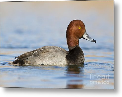 Redhead Metal Print featuring the photograph Handsome Redhead by Bryan Keil