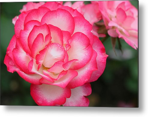 Hannah Gordon Rose Metal Print featuring the photograph Hannah Gordon Floribunda Rose by Allen Beatty