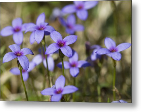 Tiny Bluet Metal Print featuring the photograph Happy Tiny Bluet Wildflowers by Kathy Clark