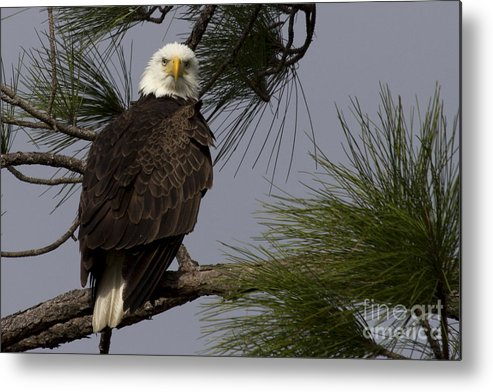 Bald Eagle Metal Print featuring the photograph Harriet The Bald Eagle by Meg Rousher