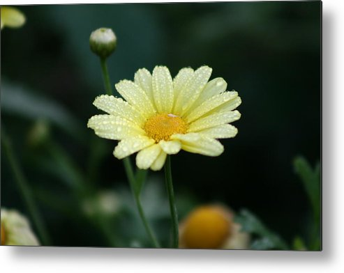 Flower Metal Print featuring the photograph He Loves Me He Loves Me Not by Joanna Raber