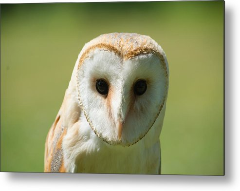 Africa Metal Print featuring the photograph Headshot Of Common Barn Owl by Dave Montreuil