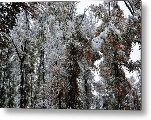Steamboat Metal Print featuring the photograph Heavy Snow On Fall Trees by Gerald Blaine