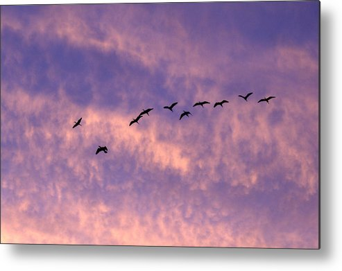 Herons Metal Print featuring the photograph Herons by Wendy Barrett