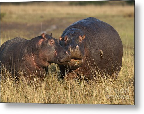 Africa Metal Print featuring the photograph Hippo Cow And Calf by John Shaw