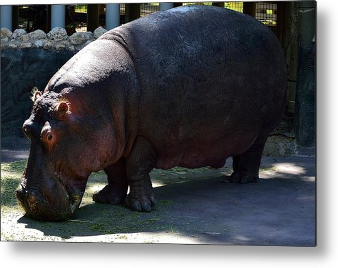 Wildlife Metal Print featuring the photograph Hippopotamus by Richard Zentner