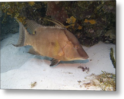 Hogfish Metal Print featuring the photograph Hogfish by Jim Murphy