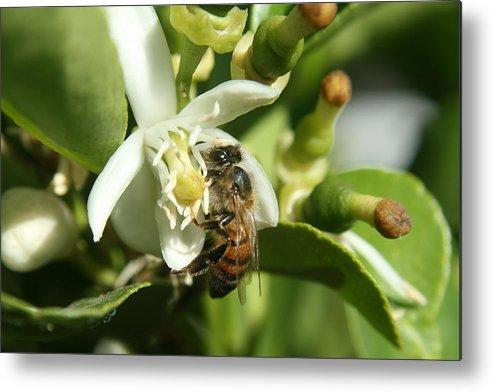 Honey Bee Metal Print featuring the photograph Honey Bee Pollinating Orange Blossom by Robert Hamm