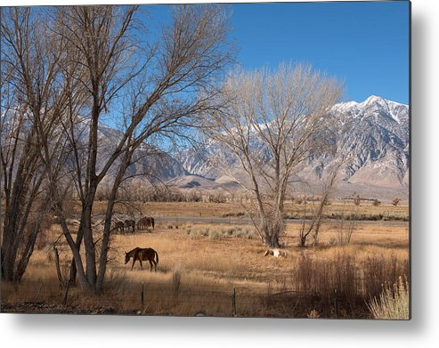 Horses Metal Print featuring the photograph Horses Graze Beside The Owens River Near Bishop by Carol M Highsmith