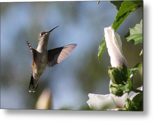 Birds Metal Print featuring the photograph Hummingbird 2 by Danielle Gareau