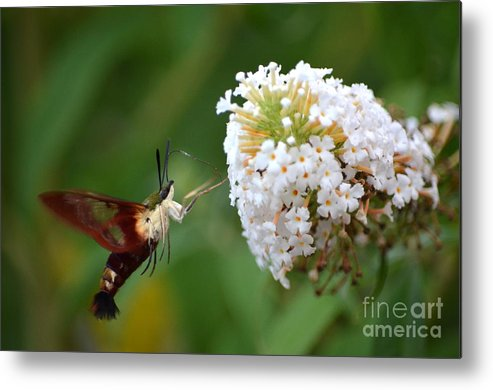 Hummingbird Moth Metal Print featuring the photograph Hummingbird Moth by Kathy Gibbons
